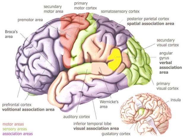 dessin des cortex du cerveau
